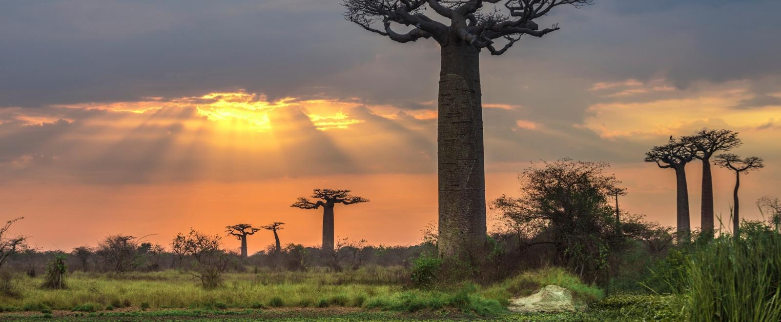 Projects Abroad volunteers pay a visit to the baobabs while volunteering in Madagascar.